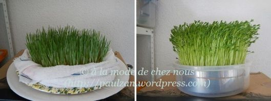 Wheat grass and green lentils, home grown